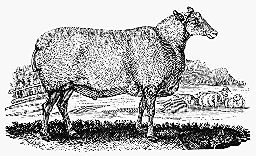 Posterazzi Poster Print Collection Sheep Nthe Wedder of Mr. Culley'S Breed. Wood Engraving C1800 by Thomas Bewick, (24 x 36), - Poster Breeds Sheep