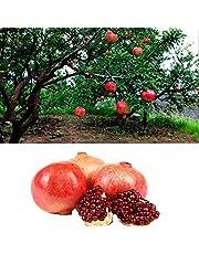 20pcs Semillas de Granada, Semillas Frutales Orgánica Arbol de Fruta con Pulpas Dulces para, Granja, Jardín, Huerto