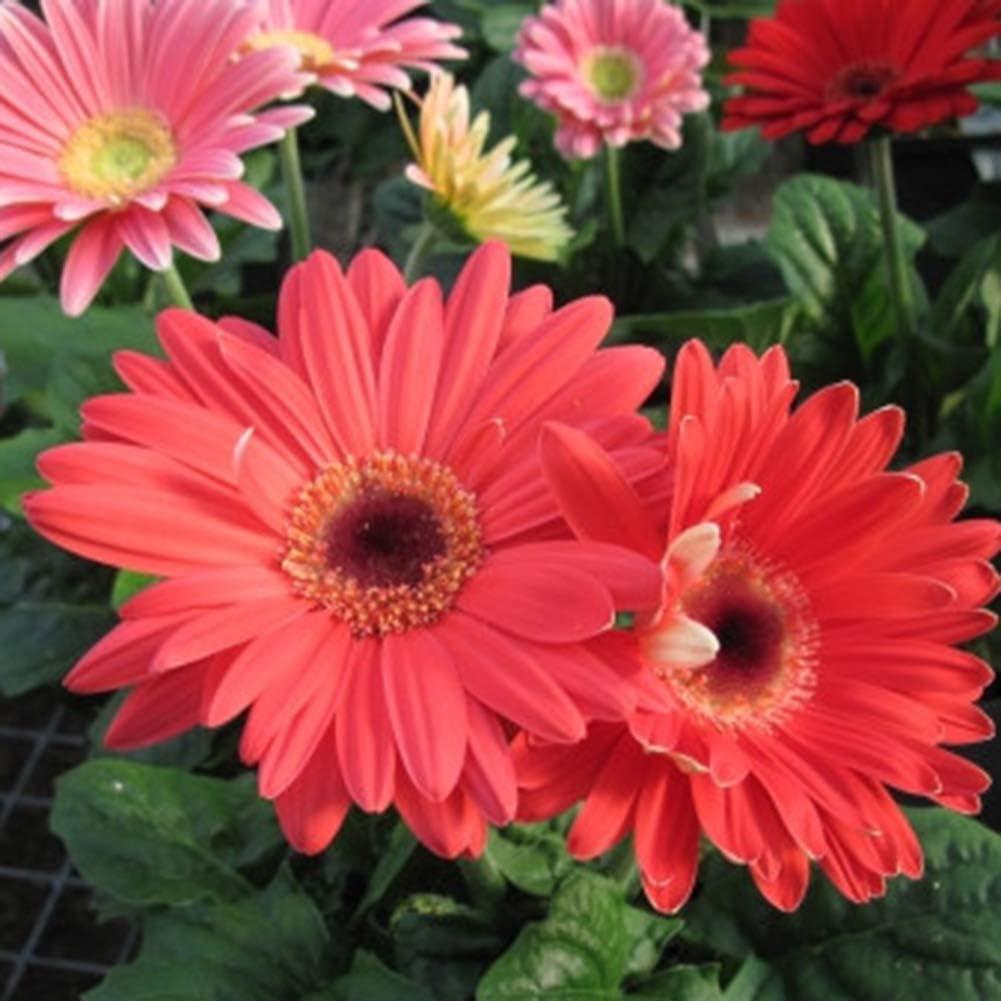 ENticerowts Gerbera Graines Facile Cultiver des Plantes Ornementales Fleur D/écor De Jardin Graines De Fleurs Graines De Plantes Jardinage D/écor /À La Maison 100pcs