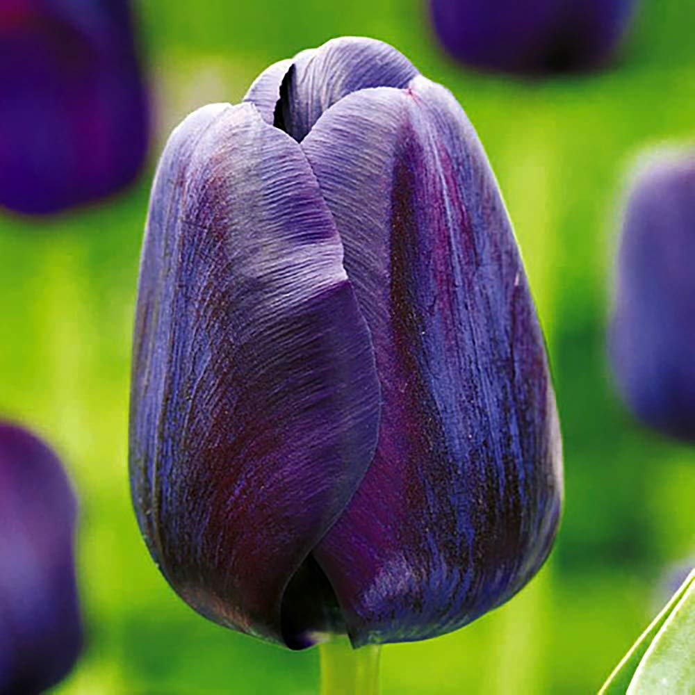 Paul Scherer Single Late Tulip 10 Bulbs - 12/+ cm Bulbs - Darkest Black Tulip