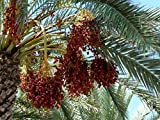 Special Deal 10 Fresh Medjool Date Palm Seeds Large Sweet Excellent Taste