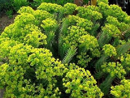 Amazon Com Myrtle Spurge Euphorbia Myrsinites 100 Seed