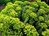 Myrtle Spurge Euphorbia myrsinites (100 Seed) Attractive Low Growing Succulent