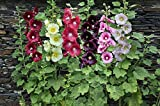 Hollyhock Perennial Mix Seeds, 500 mg