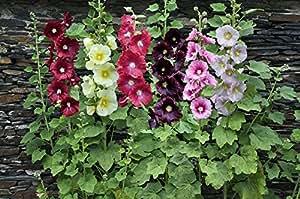 Hollyhock Perennial Mix Seeds, 500 mg