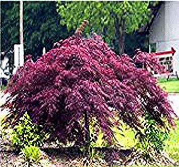 Amazoncom Burgundy Lace Japanese Maple Tree Seed Seeds Acer