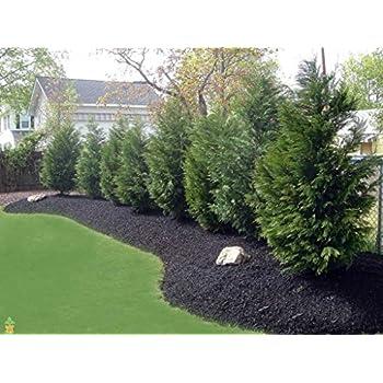 Amazon.com : Leyland Cypress Tree 4-5ft (Cupressocyparis