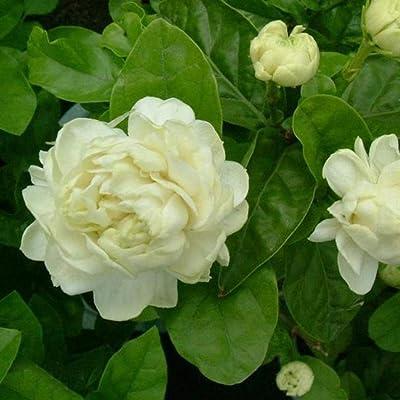 HOTUEEN 20pcs Jasmine Seeds Bonsai Perennial Flower Seeds Jasminum Sambac Seeds Indoor Flowers: Home Improvement