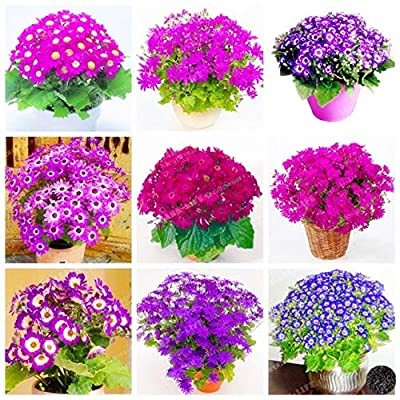 Kasuki 100PCS Florists Cineraria Bonsai 9 Kind Different Bonsai Flowers Pericallis hybrida Bonsai DIY Home and Garden Decor - (Color: 22): Garden & Outdoor
