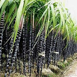 Auntwhale 1000 piezas semillas de caña de azúcar