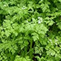 Lissy's Organic Heirloom French Chervil Seeds