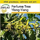 SAFLAX - Potting Set - Perfume Tree Ylang Ylang - 10 seeds - Cananga odorata
