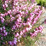 Heather 'Furzey' - Size: 1 Gallon (Erica x darleyensis 'Furzey')