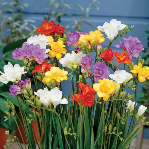 (10 Freesia Mix Color Fragrant Flower Bulb Perennial Summer Blooming)