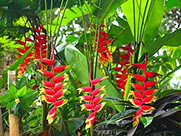 Heliconia Rostrata Lobster Claw False Bird Of Paradise 5 RARE Seeds