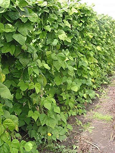 114 g Seeds of Phaseolus vulgaris, Black Turtle Bush Dry Bean, Bulk Size: 1/4 lb