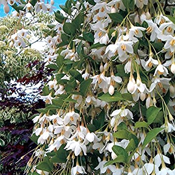 Weeping Japanese Snowbell Tree With Fragrant Flowers Styrax