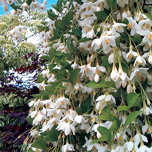 Weeping Japanese Snowbell Tree with Fragrant Flowers - Styrax japonicus 'Fragrant Fountains' 1 - Year Live Plant ()