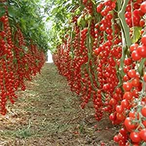 100 PC / paquete Rushed nuevas plantas al aire libre semilla de tomate Promoción del jardín en maceta de Bonsai Balcón de semillas de frutas verduras 1