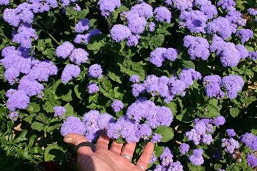 container 30 seeds £3.60 delivered Vigorous Ageratum Blue Mink front border