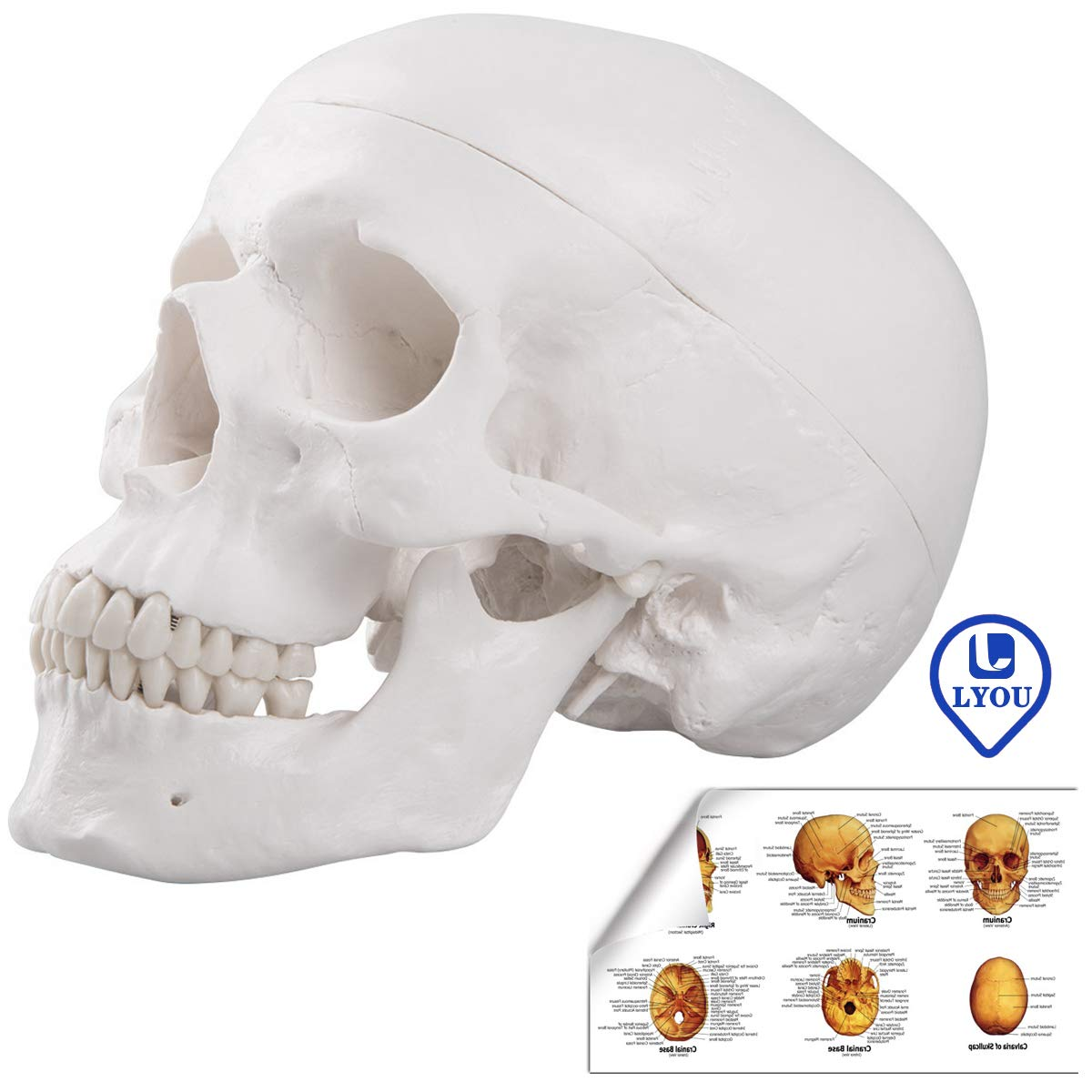 LYOU Human Skull Anatomical Model, Life Size Adult Human Anatomy Head Skeleton Model, Includes Full Set of Teeth, Removable Skull Cap and Articulated Mandible, Labelled Diagram Poster