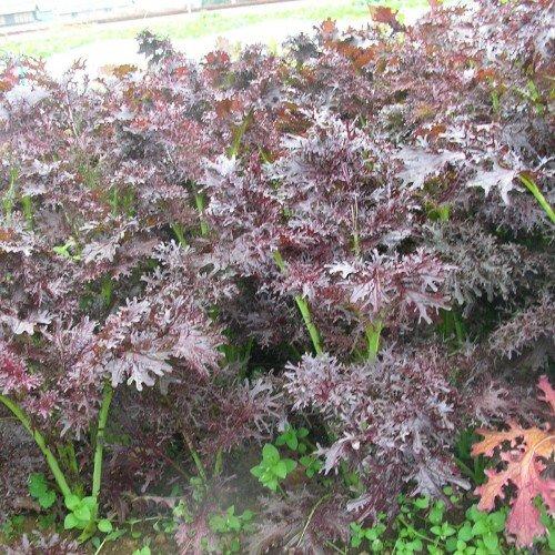 Baby Leaf - Mustard Ruby Streaks - 750 ()