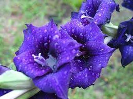 Amazon.com: Gladiolus, (One) Luna Azul, stunning Blue ...