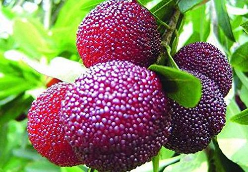 Israeli Myrica Rubra Chinese Bay-Berry Morella Rubra Subtropical Rare Seeds,by Seeds and (Bayberry Farm)