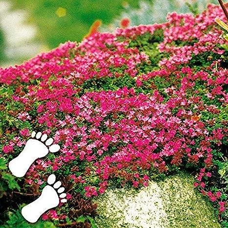 Selten Rot Bodendecker Polsterthymian duftend Trittfest Teppiche Sand-Thymian Blumensamen winterhart mehrj/ährig Begr/ünung 10 als Rasenersatz Unterpflanzung von Rosen Anitra Perkins