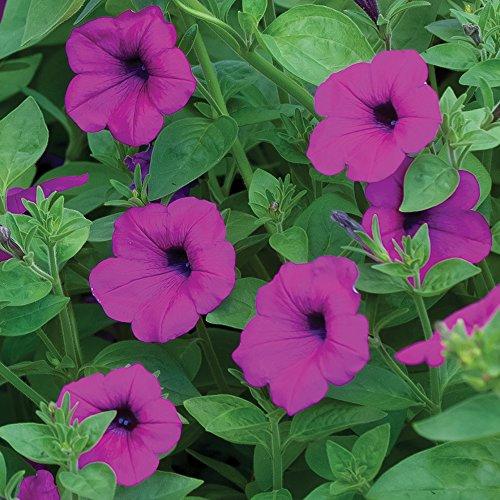 Burpee Petunia Seed - Burpee Tickled Pink Hybrid Petunia Seeds 10 seeds