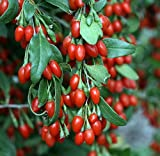 "Sweet Lifeberry Goji Berry Plant -Lycium -Super Fruit- 4"" Pot -Proven Winners"