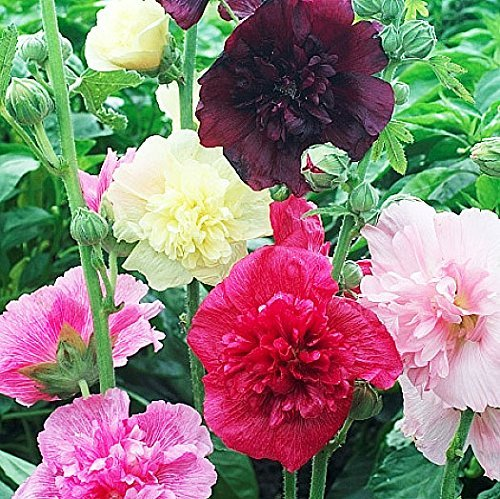 (20 Hollyhock Double Majorette Mixed Colors - Long Blooming Period in All Zones)