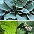 Hosta Giants Collection Mix 3 Healthy Bare Root Hostas - Mix of Colors and Textures | Ships from Easy to Grow TM