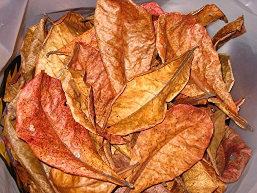 1 Lot de 10 grandes feuilles de catappa sans traitement chimique Aqua Occaz