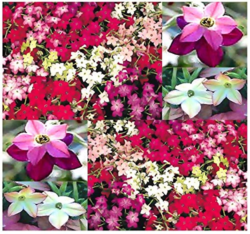 Big Pack - Daylight Sensation Fragrant Nicotiana (100000+) Flower Seeds - Nicotiana affinis ~ Flowering Tobacco - Blooms All Day Long - Flower Seeds by MySeeds.Co (Big Pack - Daylight Sensation)