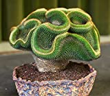 Rare Perennial Bonsai Austrocylindropuntia Succulent Plant Seeds, Professional Pack, 10 Seeds / Pack, 100% True Variety