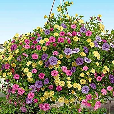 Bio Garden - Rare 100pcs Calibrachoa Plants - Carnival Mix Seeds Easy to Grow, Exotic Flower Seeds Hardy Perennial Garden : Garden & Outdoor
