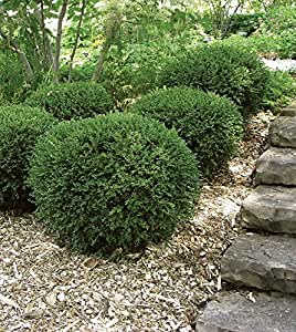 Boxwoods- Wintergreen Buxus microphylla Quart Pots (Lot of 12)