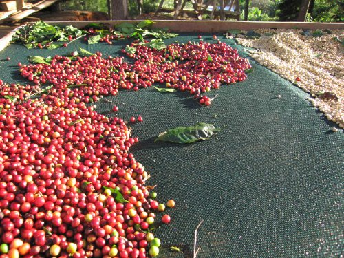 Fine International Coffees, up to 50 Pounds, Unroasted, Green Beans (Ethiopian Yirgacheffe Washed Grade 1 Coffee Beans, 5 pounds)