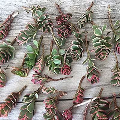 Cal Summer Garden 40+ Sedum Spurium Tricolor Unrooted Cuttings Fast to Root Ground Cover Stonecrop Succulents : Garden & Outdoor