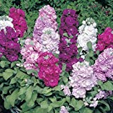Matthiola incana Flower Seeds Summer annuals from Ukraine