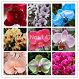 HOO PRODUCTS - Phalaenopsis orchids 300pcs seeds Beautiful garden Bonsai balcony flower butterfly orchid seeds Home Plant Seeds Brand New !