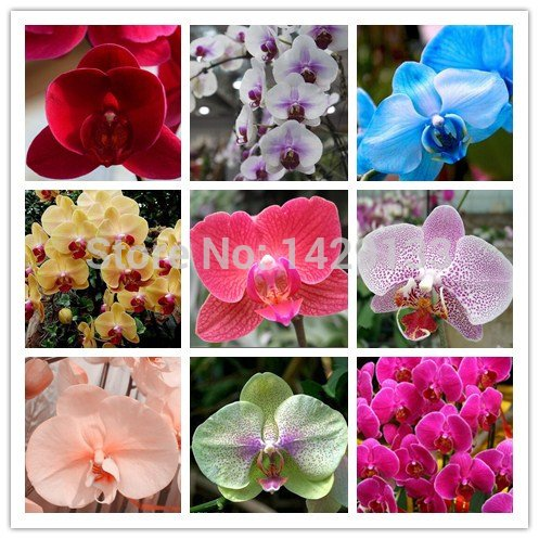 phalaenopsis-orchids-300pcs-seeds-beautiful-garden-bonsai-balcony-flower-butterfly-orchid-seeds-home