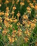 PlantVine Bulbine frutescens 'Orange', Bulbine fruticosa, Desert Candles - Medium x 4-6 Inch Pot (1 Gallon), 4 Pack, Live Plant