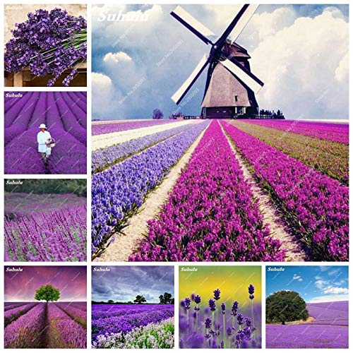 1000 pcs/Bag French Provence Lavender Flower Seeds Potted Fragrant Outdoor Natural Growth Home Garden Plant for Children gifts00 pcs ()