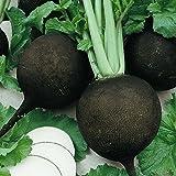 Everwilde Farms - 500 Black Spanish Round Radish Seeds - Gold Vault Jumbo Seed Packet