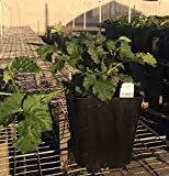Boysenberry Vines--Quart Sized Plants Shipped in Soil
