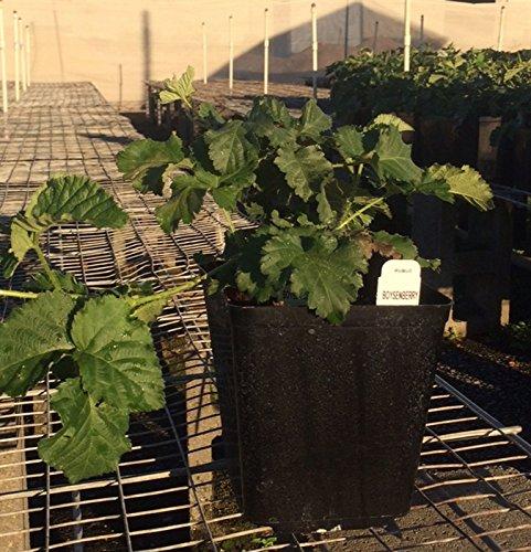 (Boysenberry Vines--Quart Sized Plants Shipped in Soil)