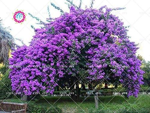 Semillas 40pcs Lila árbol de la flor de Jardines aromáticos de plantas ornamentales plantas para el jardín de DIY bonsai Inicio: Amazon.es: Jardín