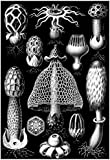 Basimycetes Nature Art Print Poster by Ernst Haeckel 13 x 19in